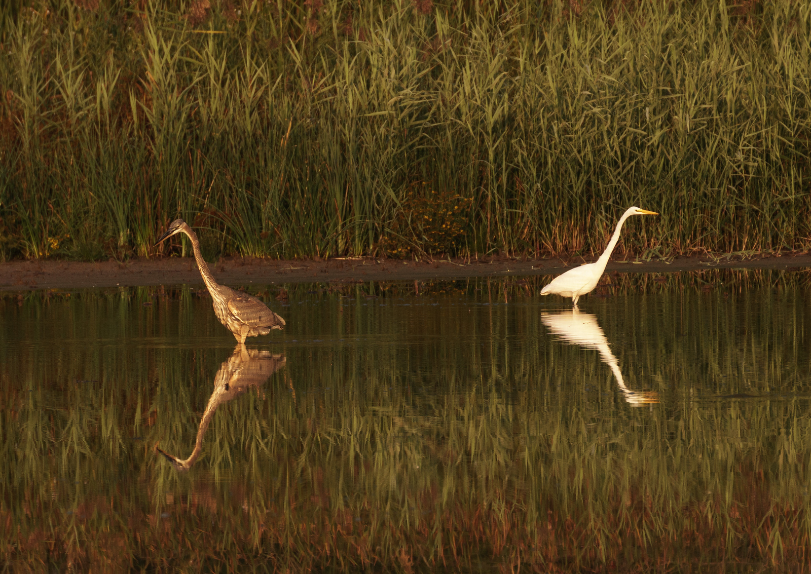 Heron and Egret - Fishing Together at Lillie Park