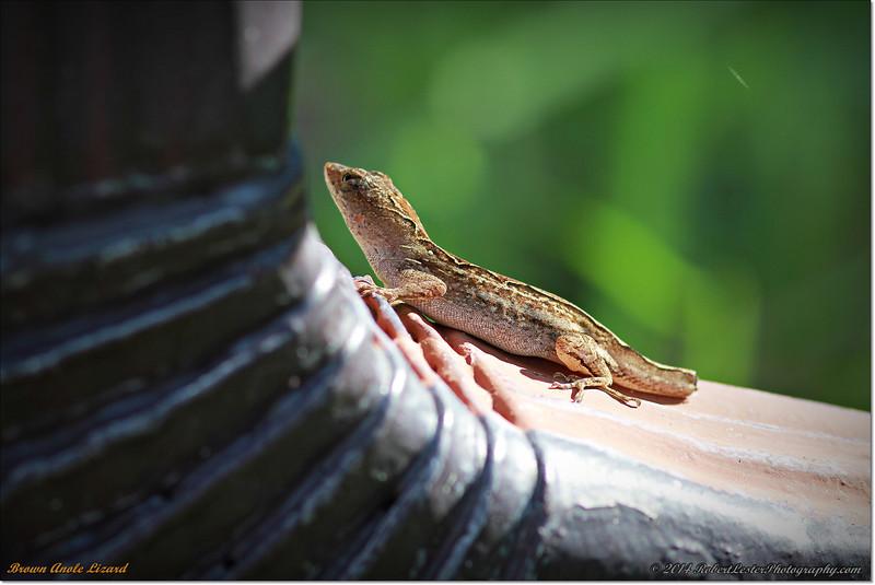 2014-06-09_IMG_1604_Brown Anole Lizard_.JPG