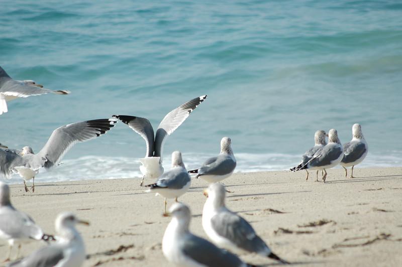 gulls (12).JPG