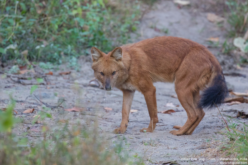 Indian Wild Dog (Dhole) - Maharashtra, India