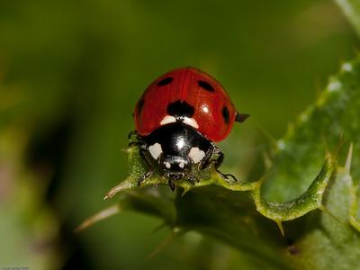 7 Spot Ladybird (Coccinella 7 punctata)