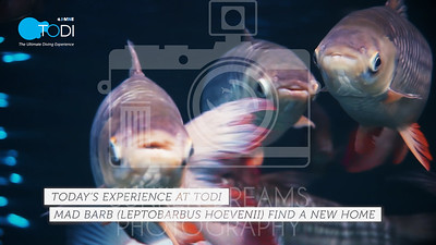TODI TODAY: Fish in Focus - Mad Barb