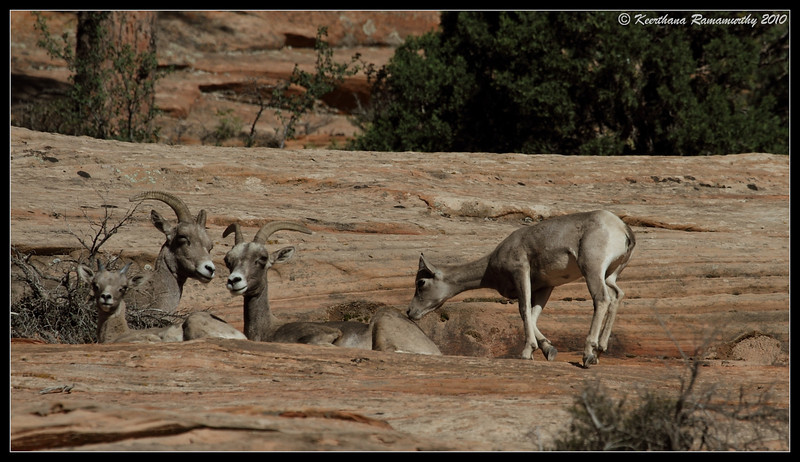 Big Horn Sheep, Zion National Park, Utah, May 2010