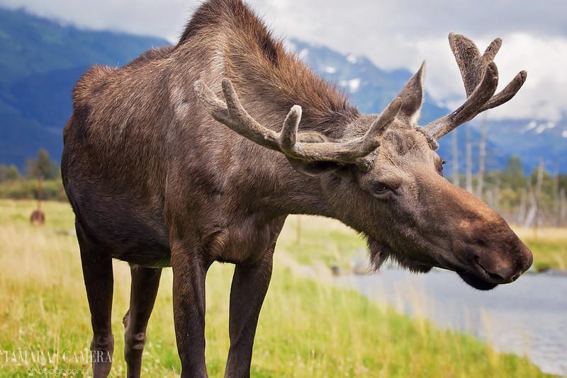 Moose4-10-2.jpg