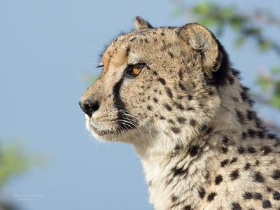 Cheetah (Acinonyx jubatus) VU