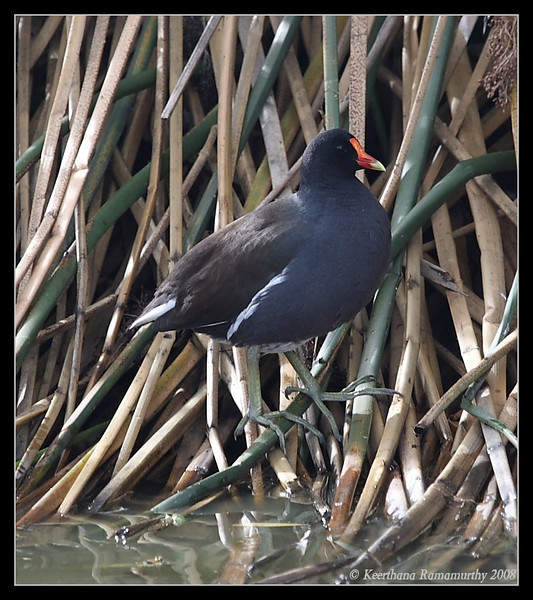 Common Moorhen, Lindo Lake, San Diego County, California, December 2008