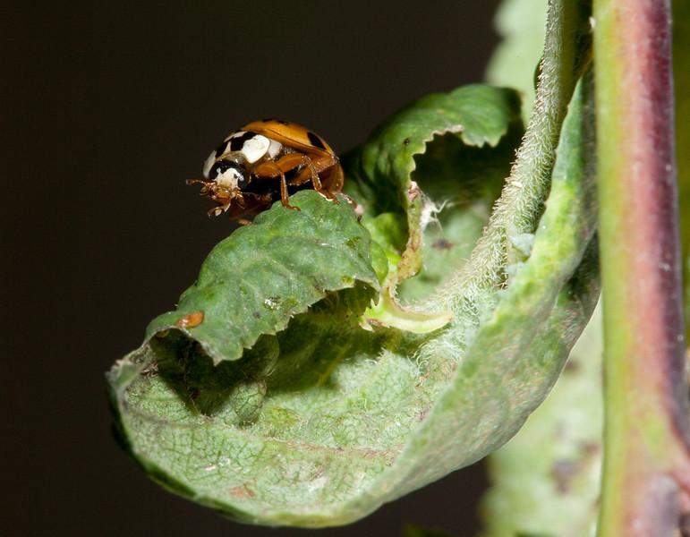 Yellow ladybug.