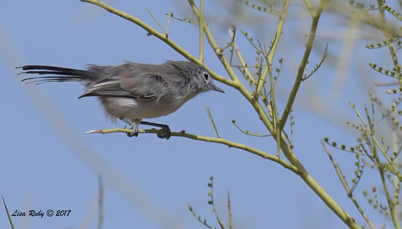 Black-tailed Gnatctacher - 10/21/2017 - McDowell Sonoran Preserve, Scottsdale AZ