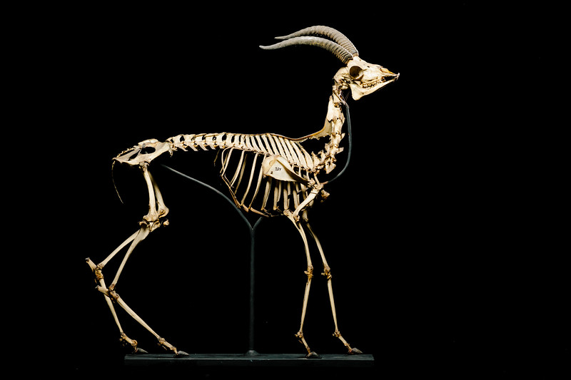 Dorcas gazelle skeleton