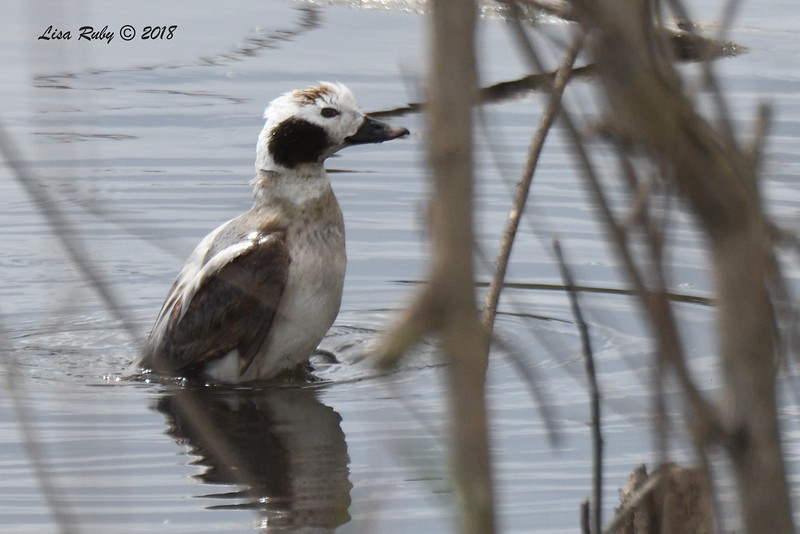 Long-tailed Duck  -  3/17/2018 - Dairy Mart southmost pond