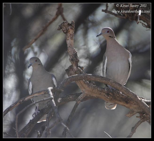 White-winged Doves, Paton's Feeders, Patagonia, Arizona, November 2011