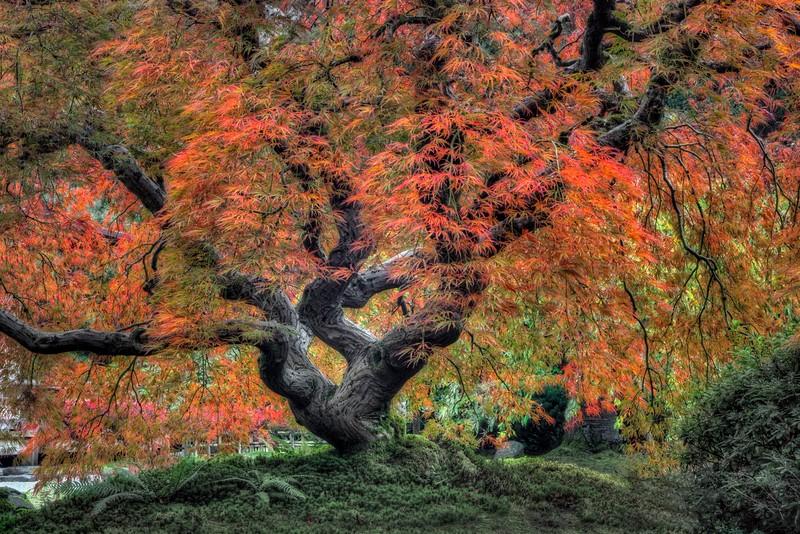 Old Japanese Maple, Japanese Garden, Portland, OR