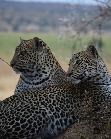 Tarangire 2.. leopards!