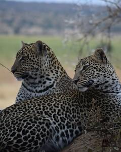 Tarangire 2.. leopards!