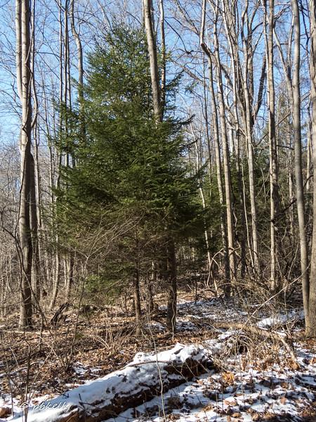 Pine 030417.jpg