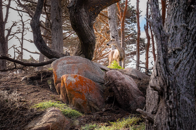 A doe standing on a rock at point lobos near Monterey California.