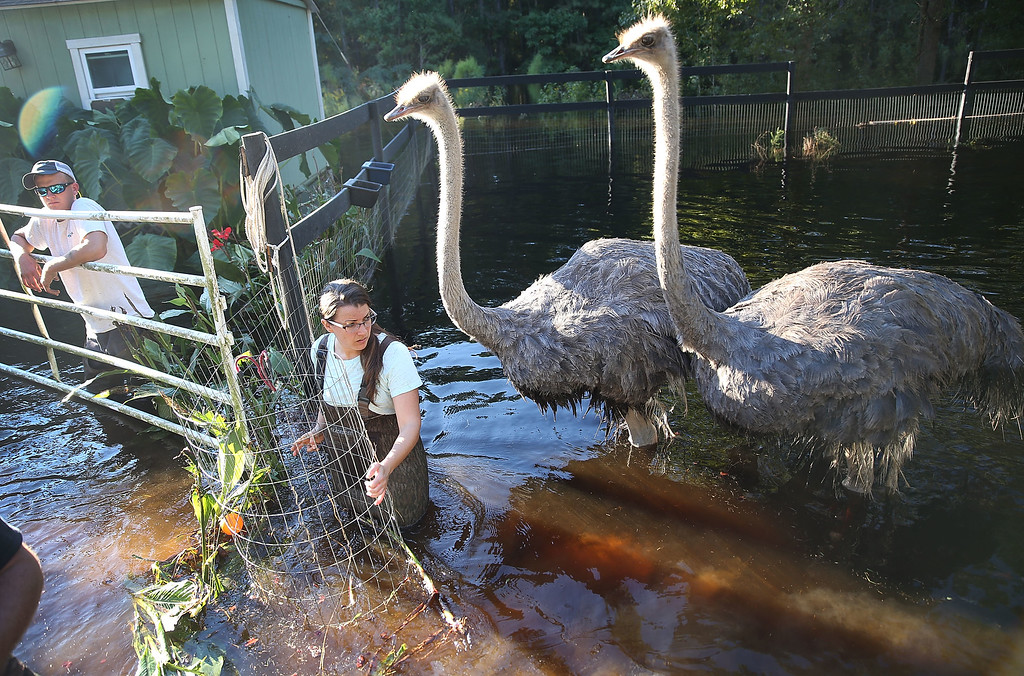 . Sarah Dillow helps move ostriches from their flooded pen on October 7, 2015 in Givhans South Carolina.   The state of South Carolina experienced record rainfall amounts over the weekend and officials expect the damage from the flooding waters to be in the billions of dollars.  (Photo by Joe Raedle/Getty Images)