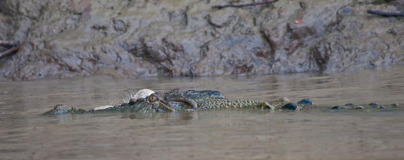 Crododile with prey
