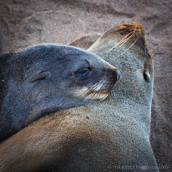Fur seal pup nestled against its mother. Cape Cross, Namibia.
