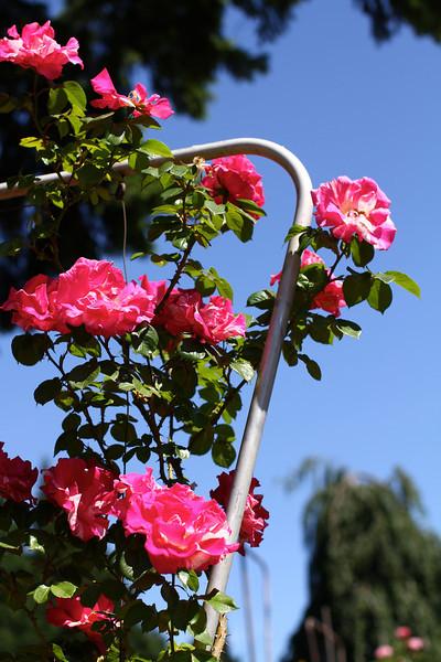 Portland International Rose Test Garden  2253.jpg