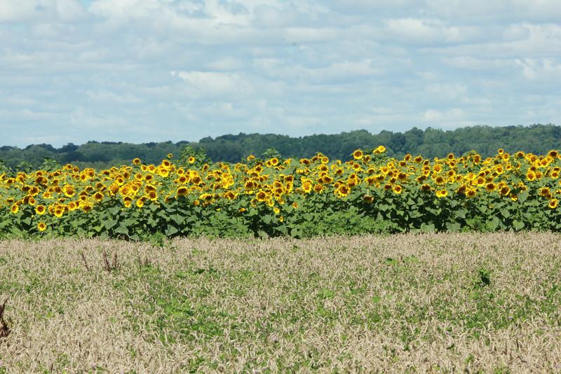 Field of Sunflowers @ Columbia Bottom CA