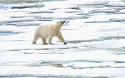 Polar Bear 8/23