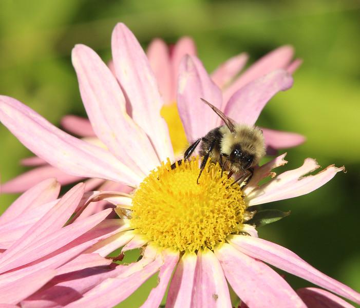 bee flower 2.jpg