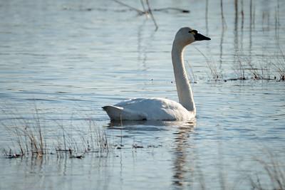 Birds - Tundra Swan