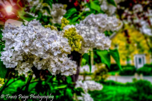 Lilac Contest 2013