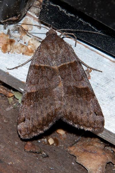 Looper - Clover - (Caenurgina crassiuscula)  - Dunning Lake - Itasca County, MN