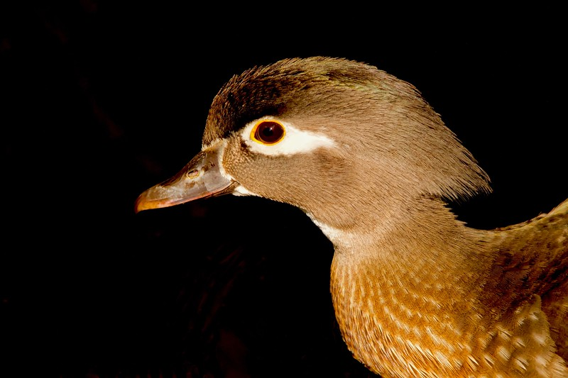 Wood Duck female