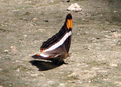 Sterling's Mexican Butterflies