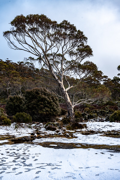 Tasmania-Highlands-JUL2019-Snow-Tree-1.jpg