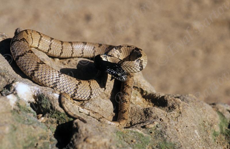 עין חתול אפור Telescopus hoogstraali.-Hoogstraal's cat snake