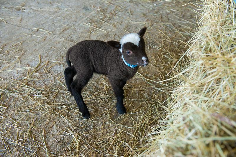 Lamby2-1.jpg
