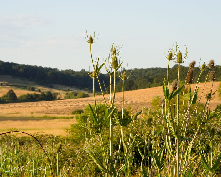 new and old thistle.jpg