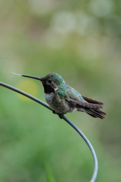 Humingbirds at Twin Lakes 2011
