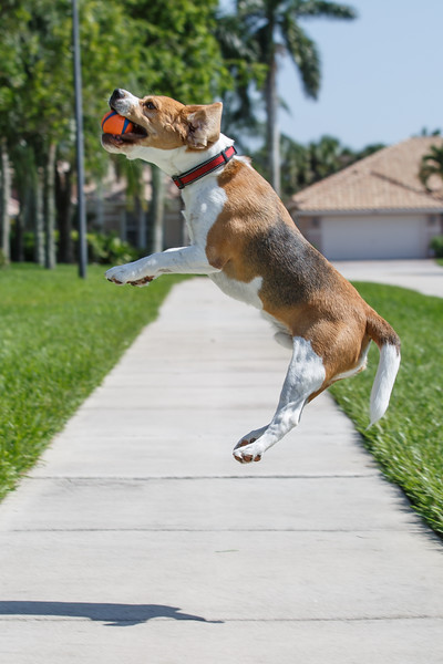 Beagle Brody