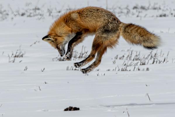 4-1-20 Red Fox Hunting