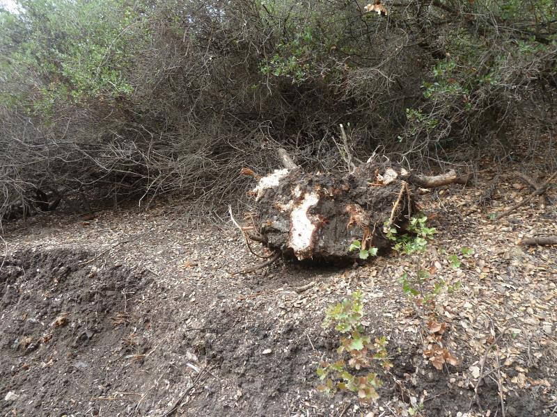 This stump must have been at b**ch to take out!