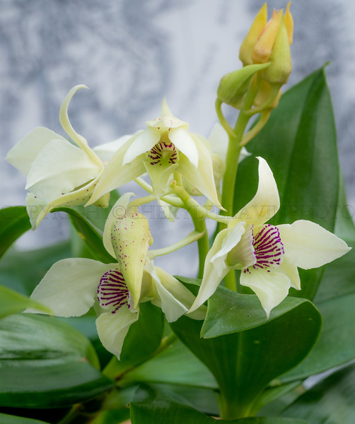 Soft Yellow Orchids