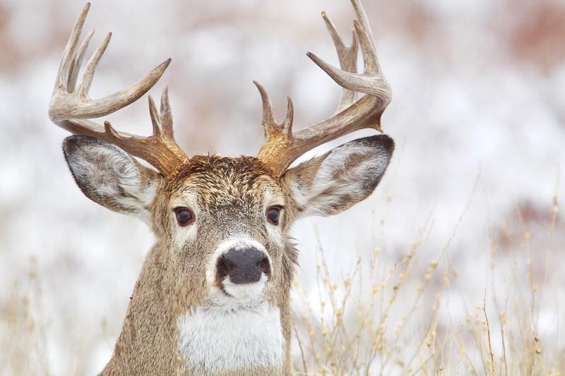 thintail buck for Smug - 1.jpg