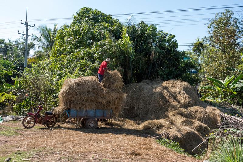 Farmer loading hay into trailer, Damdek, Siem Reap, Cambodia
