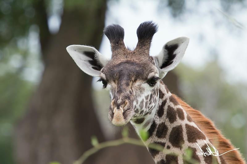 Giraffes-3.jpg
