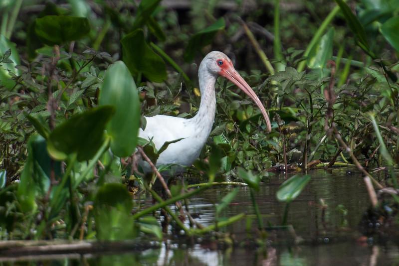 Ibis - White - Wakulla Springs Sate Park - FL