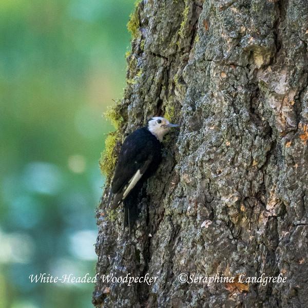 _DSC3934White headed woodpecker.jpg