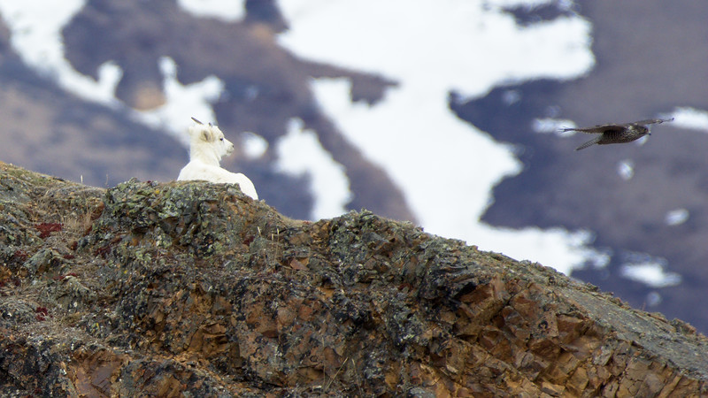 Dall Sheep watching the Gyr Falcons