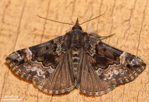 Subfamily Hypeninae