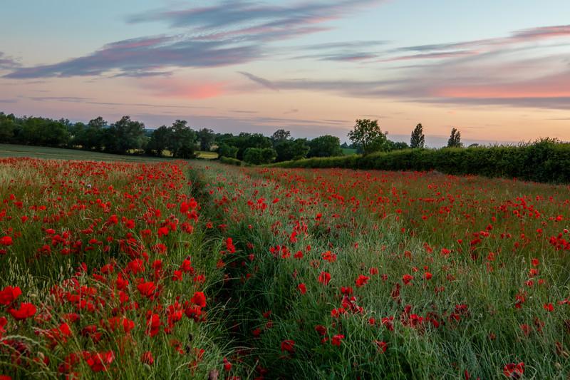 Poppy Field, Cambridgeshire