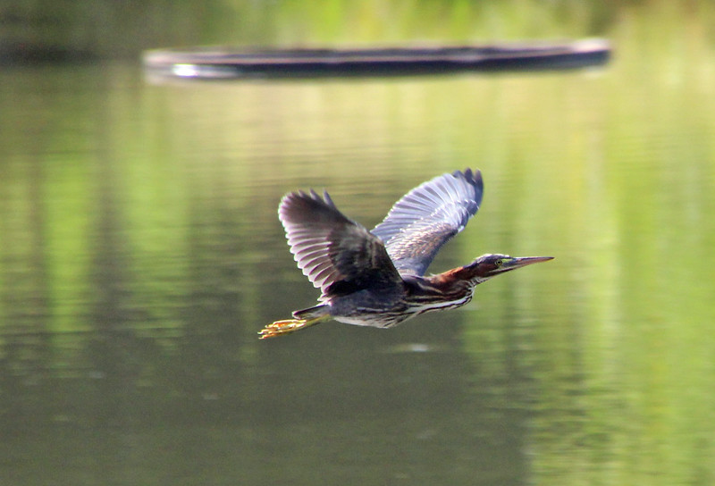 Green heron over turtle ring